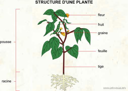 Plante (Dictionnaire Visuel)