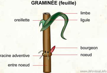 Graminée (feuille) (Dictionnaire Visuel)