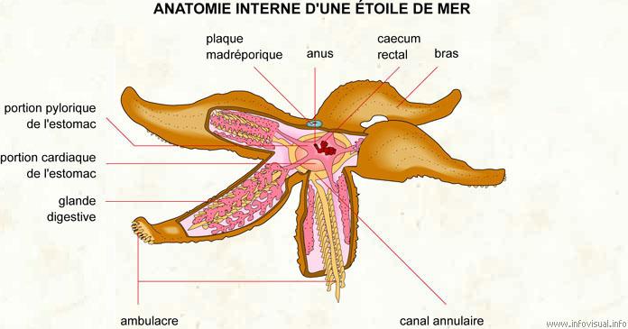 Étoile de mer (Dictionnaire Visuel)