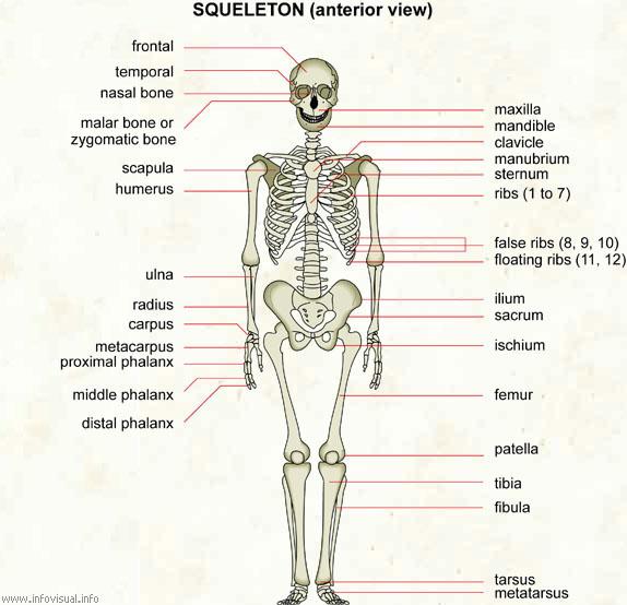 Skeleton  (Visual Dictionary)