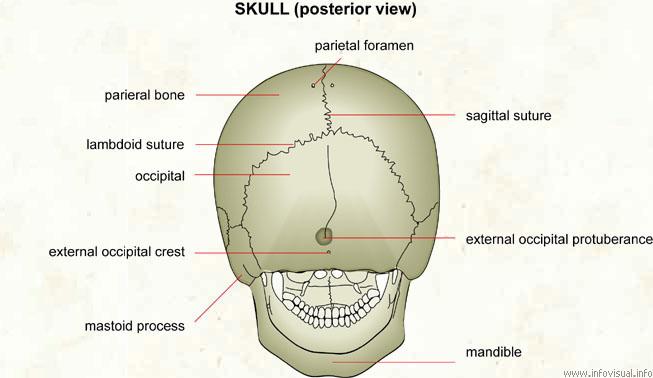 Skull (posterior view)  (Visual Dictionary)