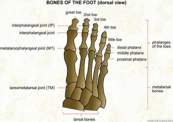 Bones of the foot  (Visual Dictionary)