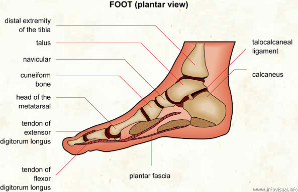 Foot  (Visual Dictionary)