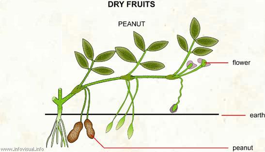 Peanut  (Visual Dictionary)