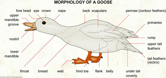 Goose  (Visual Dictionary)