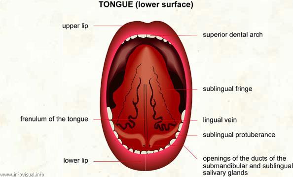 Tongue  (Visual Dictionary)