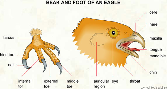 Beak and foot of an eagle  (Visual Dictionary)