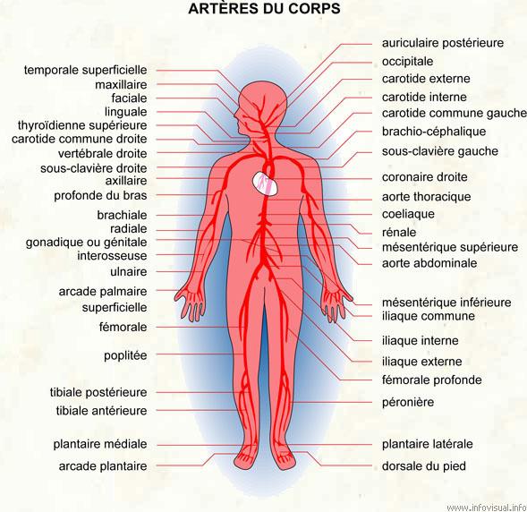 Artères du corps (Dictionnaire Visuel)