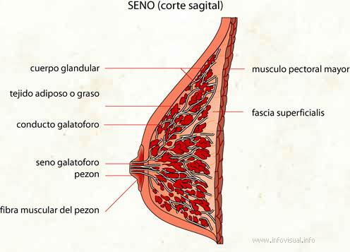Seno (Diccionario visual)